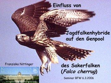 (Falco cherrug) - BFW