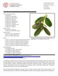 NEW Blight Ravages Boxwoods - Cornell Cooperative Extension of ... - Page 2