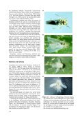 Zoophthora radicans affecting Zyginidia pullula - Bulletin of ... - Page 2