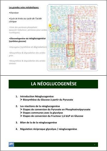 LA NÉOGLUCOGENÈSE - Département de biologie