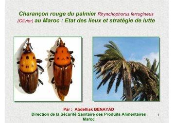 Charançon rouge du palmier Rhynchophorus ferrugineus (Olivier ...