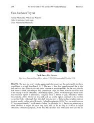 Online Guide to the Animals of Trinidad and Tobago [OGATT] - Tayra