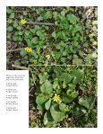 An infestation of Ficaria verna (formerly Ranunculus ficaria ... - Page 4