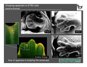 Studying apoptosis in DT40 cells - Events