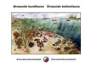 Øresunds bundfauna Öresunds bottenfauna