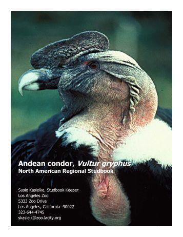 Andean condor, Vultur gryphus - Library - San Diego Zoo
