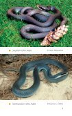 Ohio Snakes - CNAH The Center for North American Herpetology - Page 7