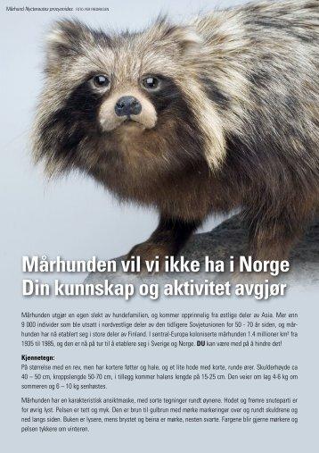 Mårhund - Informasjon fra NTNU og Direktoratet for naturforvaltning