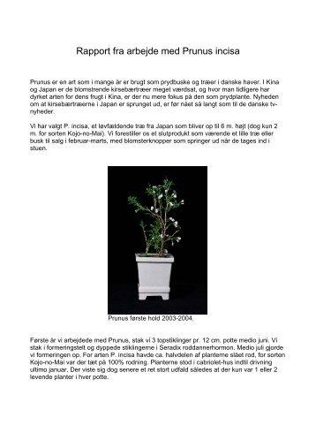 Rapport fra arbejde med Prunus incisa
