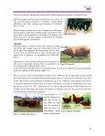 Svineavlerkultur eller hvordan Hampshire fik sin farvetegning!? - Page 6