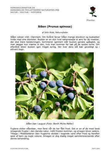 Slåen (Prunus spinosa) - Kongskilde Friluftsgård