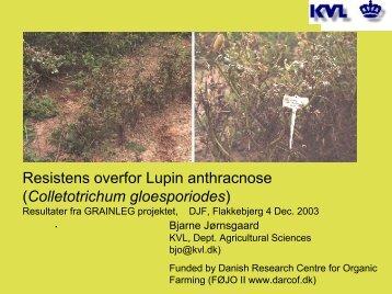 Resistens overfor Lupin antrachnose (GRAINLEG) - okoforsk
