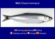 Sild (Clupea harengus)