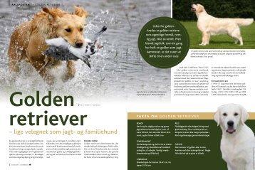 Golden Retriever - Hunden