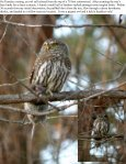 110812 Field Note JC Pygmy Owls Mourning Doves ... - MPG Ranch - Page 2