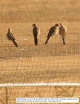 110812 Field Note JC Pygmy Owls Mourning Doves ... - MPG Ranch - Page 6