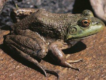 Rana catesbeiana [now Lithobates catesbeianus] Family Ranidae