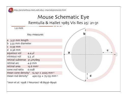 Mouse Schematic Eye on cross section of the eye, flowchart of the eye, schematic eye retinoscopy, sagittal section of the eye, schematic section of the human eye, cutaway view of the eye, midsagittal section of the eye, transverse section of the eye, cross section diagram of eye,