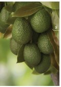 Orchard Biosecurity Manual for the Avocado ... - Farm Biosecurity - Page 5