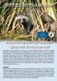 Mårhunden spreder sig i Danmark – hjælp med at bekæmpe den!