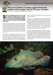 Retroculus lapidifer, en kraftigt byggd strömlevande jordätare med ...