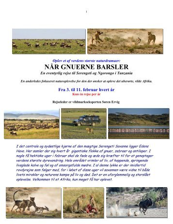 Når gnuer og zebraer føder på Serengeti - Søren Ervig