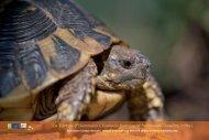 La Tortue d'Hermann, une espèce sauvage et menacée en Provence