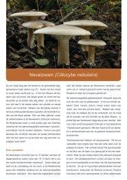Nevelzwam (Clitocybe nebulairs) - Natuurpunt