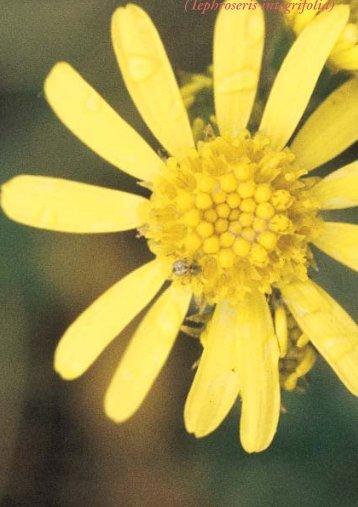 (Tephroseris integrifolia) (in Swedish) - Regional Red List