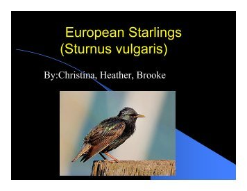 European Starlings (Sturnus vulgaris)