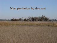 Nest predation by rice rats