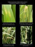Drechslera avenae - Enfermedades en Cultivos - Page 4