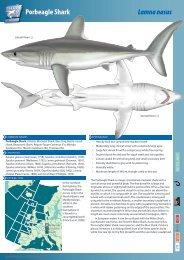 Porbeagle Shark Lamna nasus - The Shark Trust