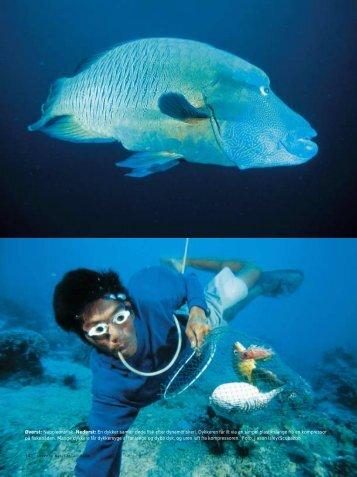 Øverst: Napoleonsfisk. Nederst: En dykker samler døde fisk ... - Toppx2