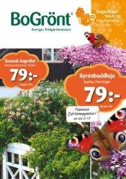 Syrénbuddleja - Solberga Blommor