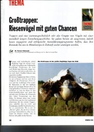 Riesenvögel mit guten Chancen - Großtrappe