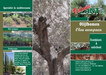 Olijfbomen Olea europaea - Veluwe Plant