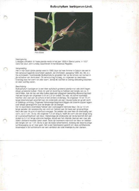 Bulbophyllum barbigerum Lindl.