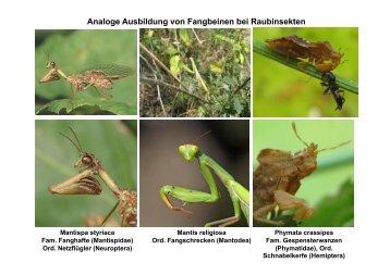 Fam. Ameisen (Formicidae)