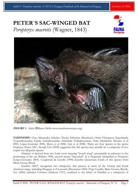 PETER´S SAC-WINGED BAT Peropteryx macrotis - FAUNA Paraguay