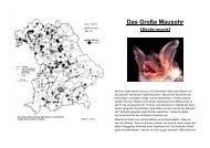 Das Große Mausohr - Fledermaus-Bayern