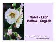 Malva - Latin Mallow - English