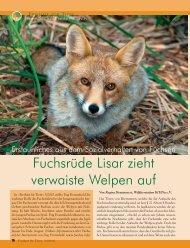 Fuchsrüde Lisar zieht verwaiste Welpen auf - Magazin Freiheit für ...