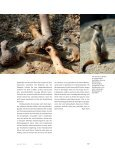 hier - The Kalahari Meerkat Project - Seite 4