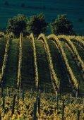 Weinfeste der Südlichen Weinstrasse - Ferienwohnung Scheibel - Page 5