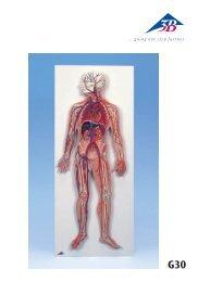 Circuito Circulatorio : Sistema circulatorio monografias