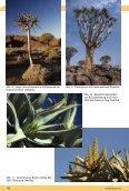 Aloe dichotoma - Köcherbaum - IG-Aloaceae - Seite 7