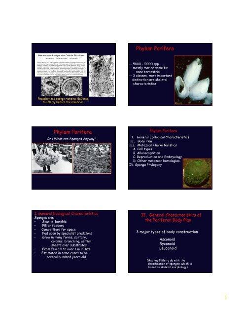 Phylum Porifera Phylum Porifera