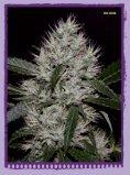 THCene: Strains - Alpine Seeds - Seite 4