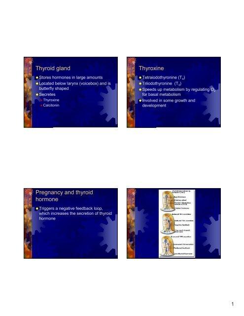 Thyroid Gland Thyroxine Pregnancy And Thyroid Hormone